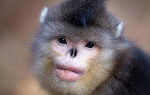 animales-raros-mono-de-nariz-chata