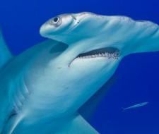 Tiburón Martillo o Pez Martillo: Información y características