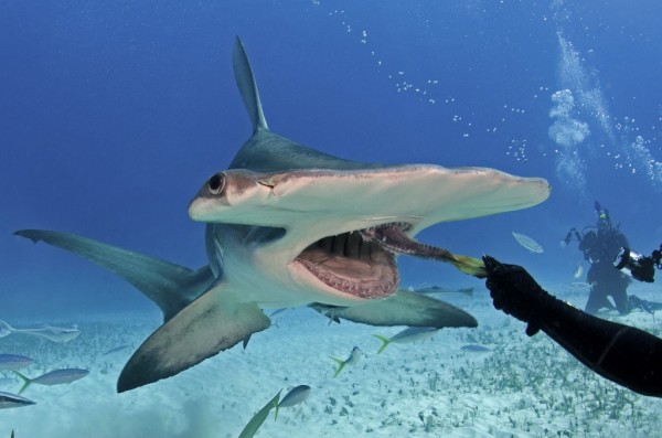 tiburon-martillo-comportamiento