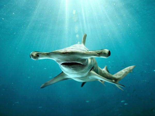 tiburon-martillo-descripción-fisica-cabeza