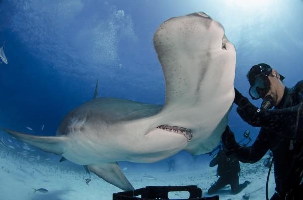 tiburon-martillo-peligro-de-extincion