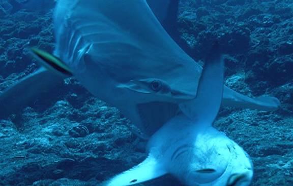 Tiburón Martillo O Pez Martillo Información Y Características