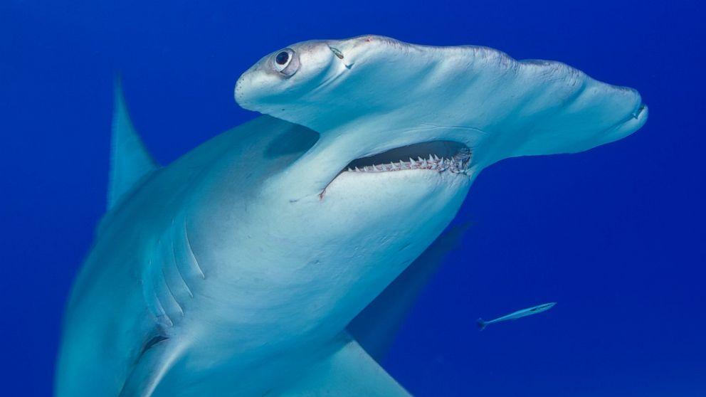 Tiburón Martillo o Pez Martillo: Información y características ...