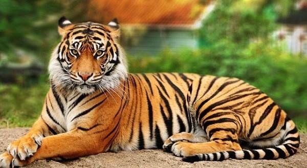 tigre-de-bengala-panthera-tigris-tigris