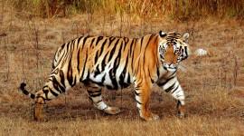 El Tigre de Bengala o Panthera tigris tigris: Información y características del tigre indio