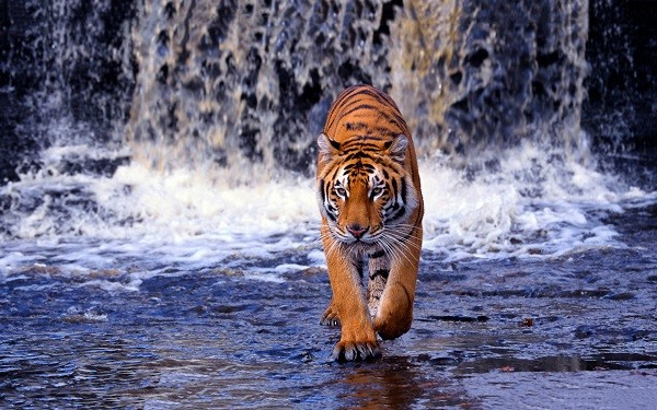 tigre-de-bengala-panthera-tigris-tigris-habitat