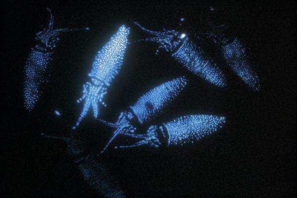 8-animales-que-brillan-en-la-oscuridad-criaturas-bioluminiscentes-calamar-luciernaga