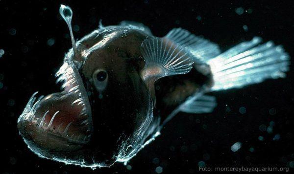 8-animales-que-brillan-en-la-oscuridad-criaturas-bioluminiscentes-pez-diablo
