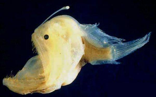 8-animales-que-brillan-en-la-oscuridad-criaturas-bioluminiscentes-pez-linterna
