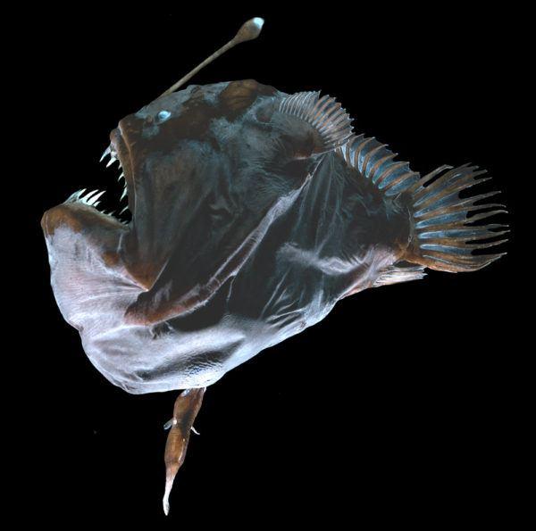 8-animales-que-brillan-en-la-oscuridad-criaturas-bioluminiscentes-rape