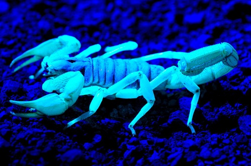 8-animales-que-brillan-en-la-oscuridad-criaturas-bioluminiscentes-scorpion-flickr