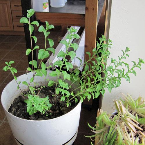 C mo cultivar stevia en casa manual de cultivo Como cultivar peces en casa