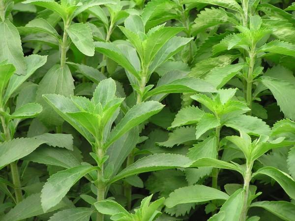 como-cultivar-stevia-en-casa