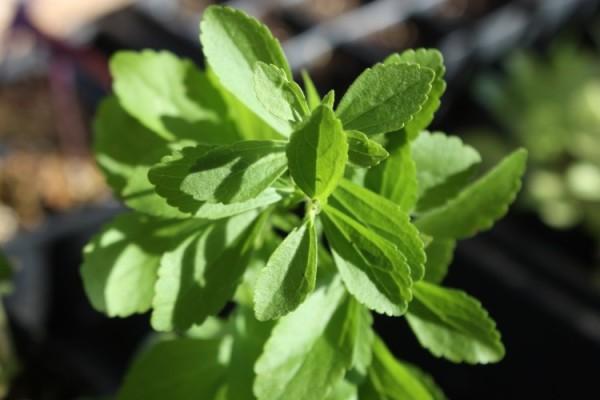 como-cultivar-stevia-en-casa-manual-de-cultivo-tratamiento