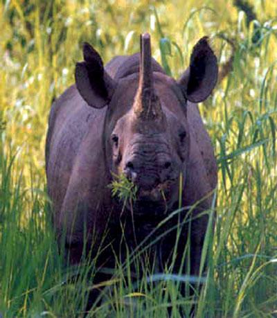 las-fotos-de-10-animales-que-ya-se-han-extinguido-rinoceronte-negro-a