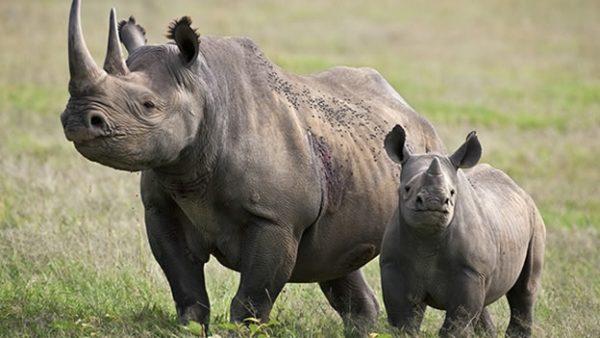 las-fotos-de-10-animales-que-ya-se-han-extinguido-rinoceronte-negro-b