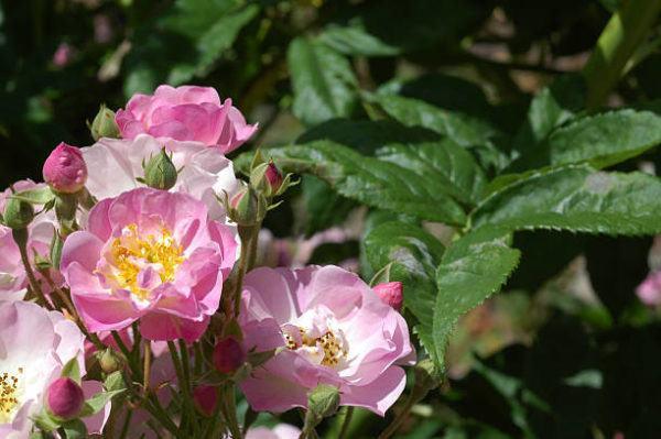 Remedios naturales manchas en la piel rosa mosqueta