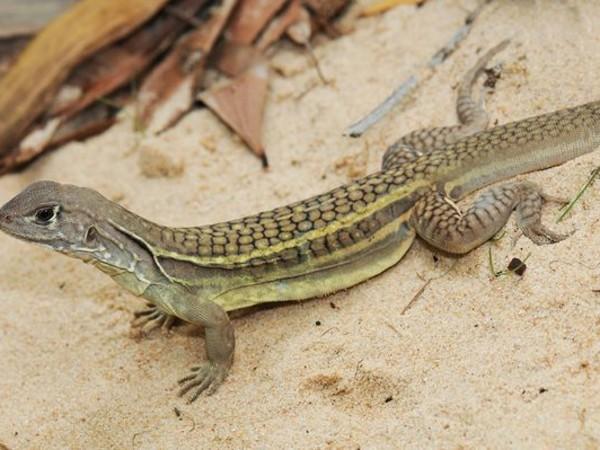 animales-raros-lagarto-autoclonable