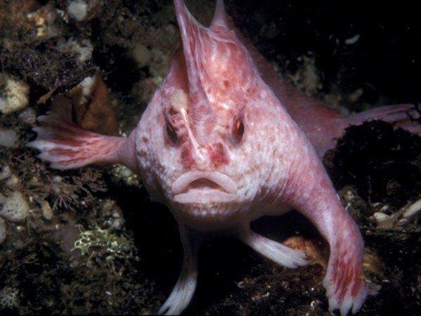 animales-raros-pez-rosado-con-manos