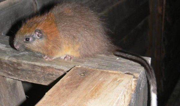 animales-raros-rata arborea-de-santa-marta