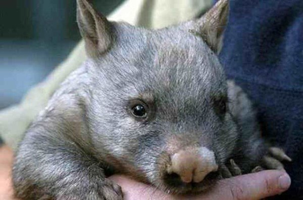 animales-raros-wombat-del-norte