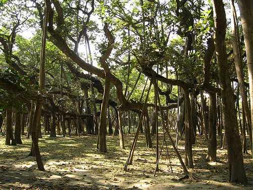 los-arboles-mas-magnificos-del-mundo-banianos-ocupacion
