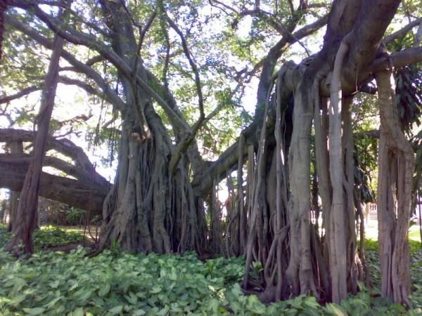 los-arboles-mas-magnificos-del-mundo-banianos-raices-aereas