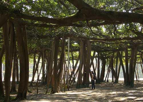 los-arboles-mas-magnificos-del-mundo-banianos-tronco-origen