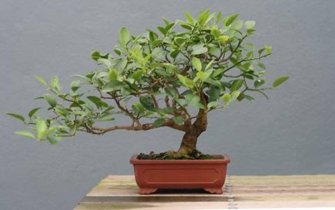 12-bonitas-formas-de-tener-plantas-de-interior-bonsai