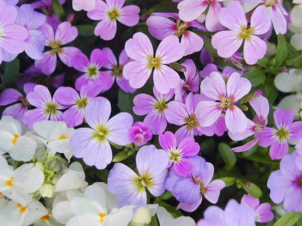 cuales-son-las-flores-de-invierno-alheli