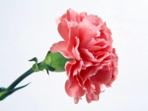 cuales-son-las-flores-de-invierno-clavel