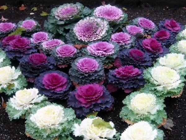 cuales-son-las-flores-de-invierno-col-ornamental