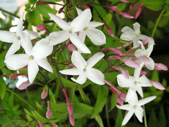 cuales-son-las-flores-de-invierno-jazmin-chino