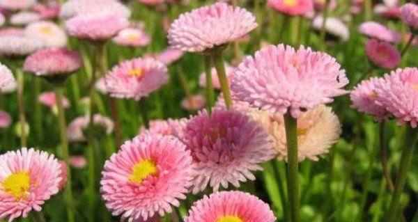 cuales-son-las-flores-de-invierno-margarita-de-los-prados