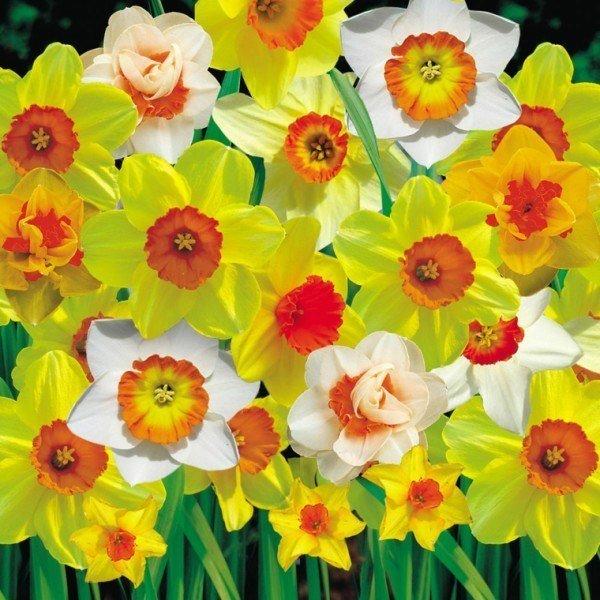 cuales-son-las-flores-de-invierno-narcisos