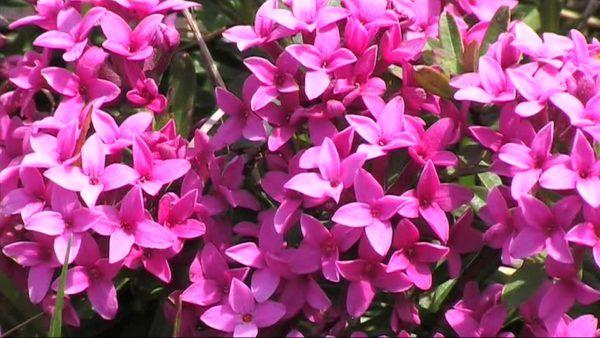 cuales-son-las-flores-de-invierno-torviso-de-los-pirineos