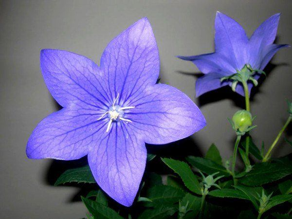 cuales-son-las-flores-de-la-primavera-campanillas-chinas
