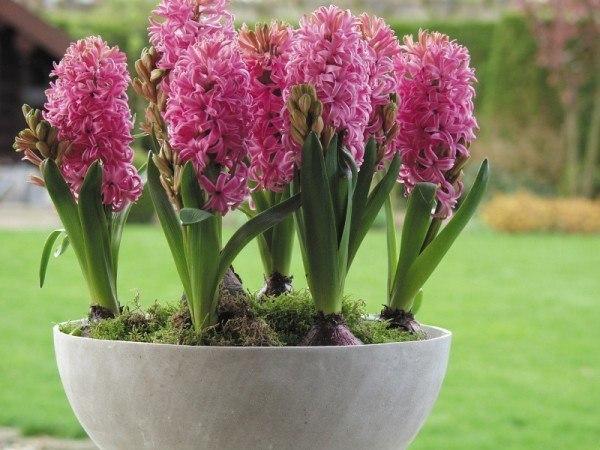 cuales-son-las-flores-de-la-primavera-jacintos