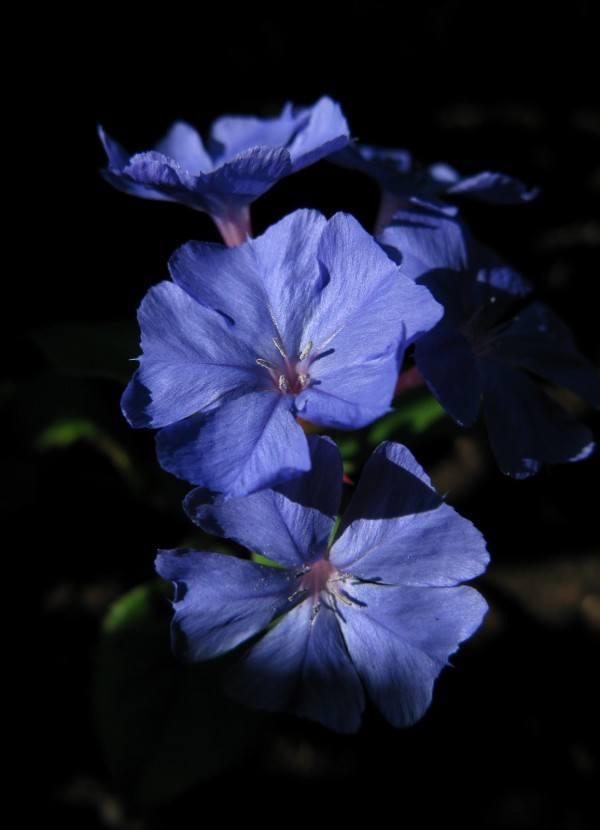 cuales-son-las-flores-de-otoño-falso-plumbago