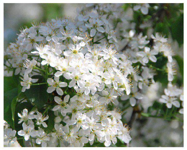 cuales-son-las-flores-de-otoño-flor-de-ciruelo