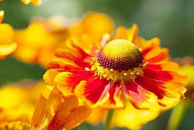 cuales-son-las-flores-de-otoño-helenium
