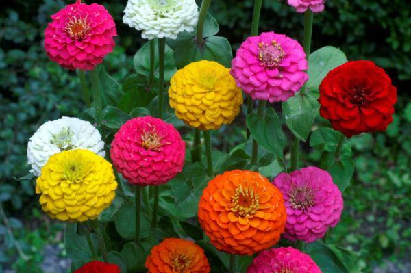 cuales-son-las-flores-de-otoño-zinnia