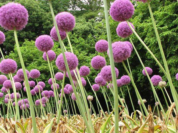 cuales-son-las-flores-de-primavera-allium