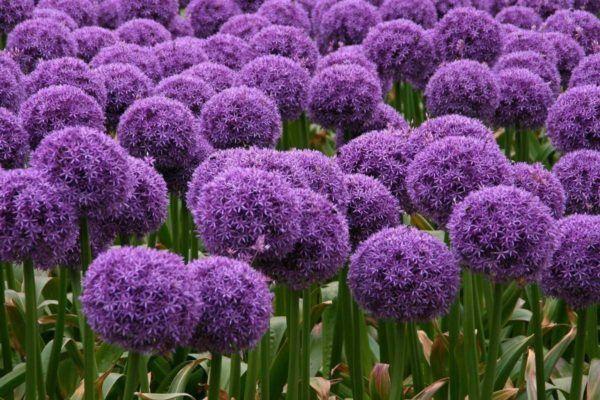 cuales-son-las-flores-de-primavera-allium-bolas