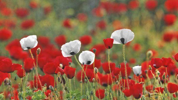 cuales-son-las-flores-de-primavera-amapolas