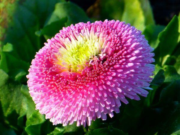 cuales-son-las-flores-de-primavera-bellis
