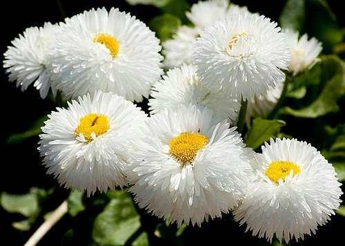 cuales-son-las-flores-de-primavera-bellis-blancas