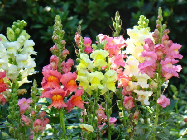 cuales-son-las-flores-de-primavera-boca-de-dragon