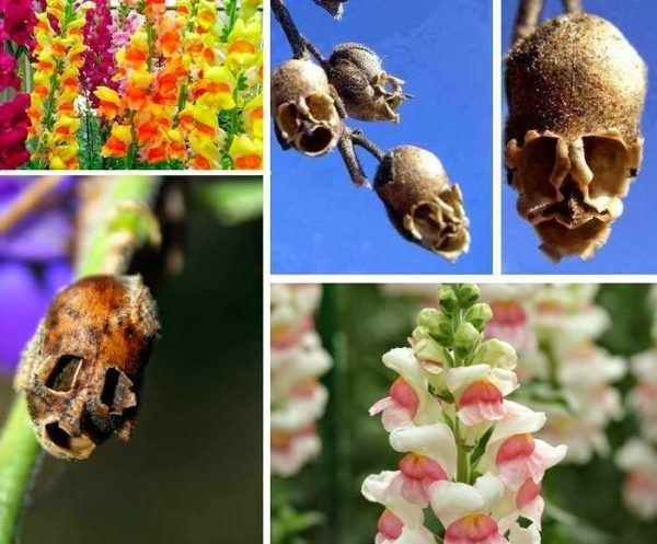 cuales-son-las-flores-de-primavera-boca-de-dragon-calavera