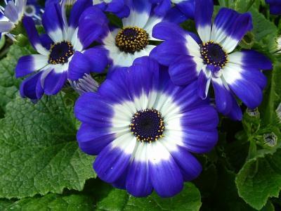 cuales-son-las-flores-de-primavera-cineraria